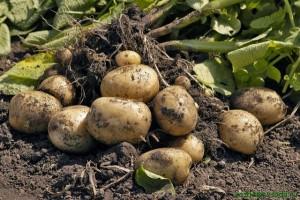 7-способов-выращивания-картофеля