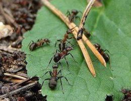 Миниатюра к статье Выгнала муравьев с огорода за два часа. Сама удивилась!