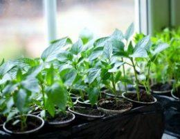 Миниатюра к статье Когда сажать перцы, огурцы и томаты на рассаду?