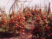 Миниатюра к статье Невероятно высокий урожай помидоров
