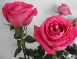 Миниатюра к статье Как вырастить розу из срезанного цветка