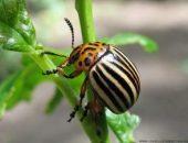 Миниатюра к статье Как избавится от колорадского жука без химии?