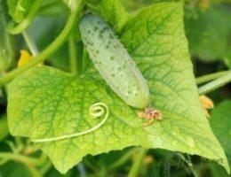 Миниатюра к статье Йод и зеленка увеличат урожай огурцов и спасут от болезней