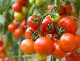 Миниатюра к статье Нашатырный спирт в борьбе за урожай!