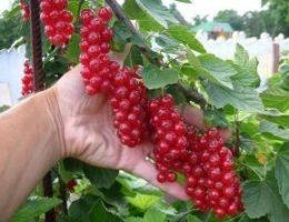 Миниатюра к статье В десять раз больше урожай малины и смородины!