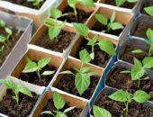 Миниатюра к статье Сладкий перец: выращивание рассады до высадки в огород