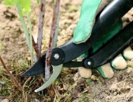 Миниатюра к статье Как обрезать ягодные кусты. Смородина, малина, крыжовник
