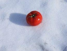 Миниатюра к статье Редкий способ посева томатов… под зиму