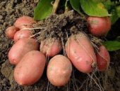 Миниатюра к статье Как обновить сорт картофеля: 5 способов
