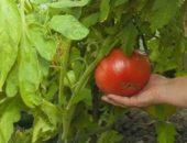 Миниатюра к статье На сухарях мои помидоры растут как сумасшедшие