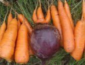 Миниатюра к статье Чтобы свекла и морковь были сладкими