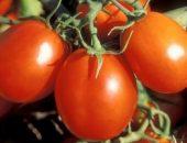 Миниатюра к статье Фитофтора: как избавить томаты от злостного недуга