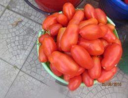 Миниатюра к статье Хотите получать по 2 ведра томатов с куста?