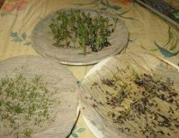 Миниатюра к статье Как у меня прорастают семена