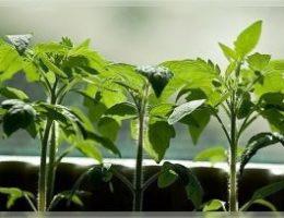 Миниатюра к статье Экономный способ выращивания рассады томатов
