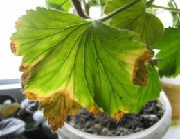 Миниатюра к статье Почему у герани сохнут листья