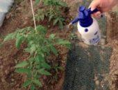 Миниатюра к статье Применение фитоспорина на рассаде и взрослых томатах