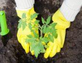 Миниатюра к статье Что необходимо класть в лунку при посадке помидоров?