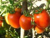 Миниатюра к статье Уникальная подкормка для созревания помидоров