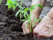 Миниатюра к статье Выращивание помидор по методу Маслова