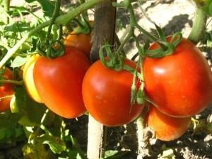 unikalnaya_podkormka_dlya_sozrevaniya_pomidorov