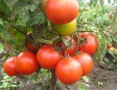 Миниатюра к статье Мои заповеди выращивания томатов