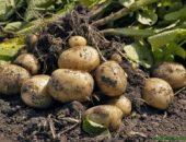 Миниатюра к статье Выращивание картофеля