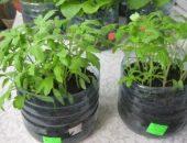 Миниатюра к статье Упрощенный способ выращивания рассады