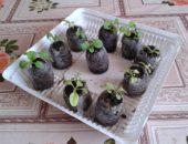 Миниатюра к статье Необычный способ выращивания рассады