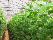 Миниатюра к статье Простой и доступный секрет выращивания большого урожая ОГУРЦОВ