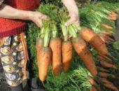 Миниатюра к статье Необычный и эффективный способ посева моркови