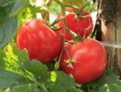 Миниатюра к статье Универсальная подкормка для созревания помидоров
