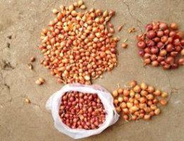 Миниатюра к статье Бабушкин секрет посадки лука севка