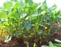 Миниатюра к статье Как вырастить земляной орех-арахис