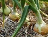 Миниатюра к статье Теперь я каждый год получаю большой урожай лука....
