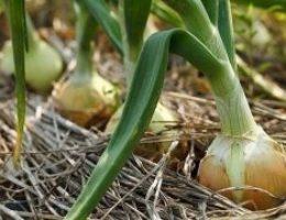 Миниатюра к статье Теперь я каждый год получаю большой урожай лука….
