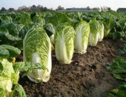 Миниатюра к статье Выращивание пекинской капусты: основы и секреты урожая