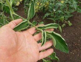 Миниатюра к статье Если листья на помидорах начали скручиваться