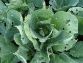 Миниатюра к статье Как защитить капусту от вредителей без химии