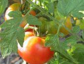 Миниатюра к статье Как ускорить созревание томатов