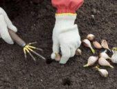 Миниатюра к статье Готовим грядку к посадке чеснока