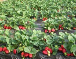 Миниатюра к статье Как правильно посадить клубнику — 4 способа посадки