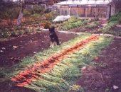 Миниатюра к статье От сорняков в моркови